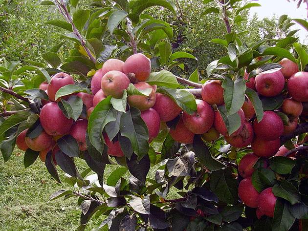 Гілка яблуні всипана плодами