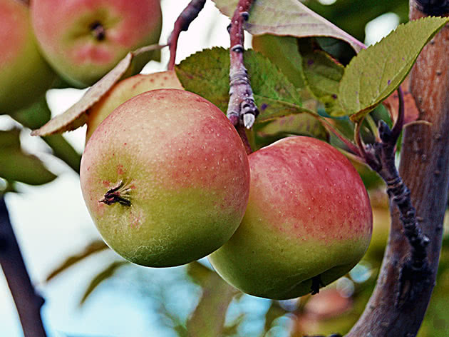 Яблука на гілці