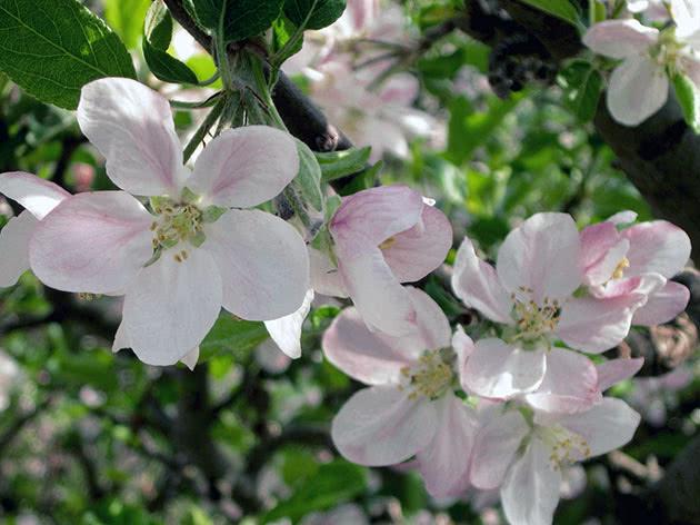 Цветение яблони в саду весной