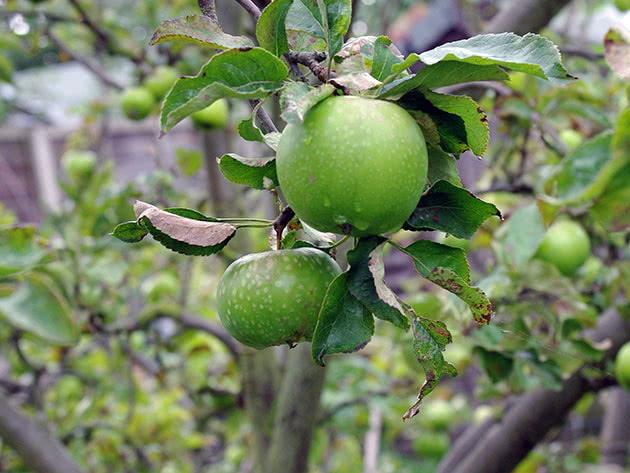 Яблоня плодоносит