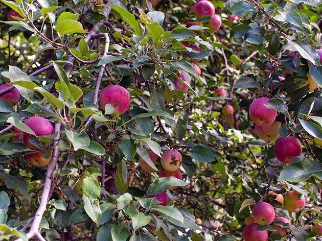 Посадка и уход за яблоней в саду