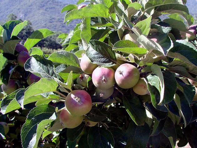Выращивание яблони в саду