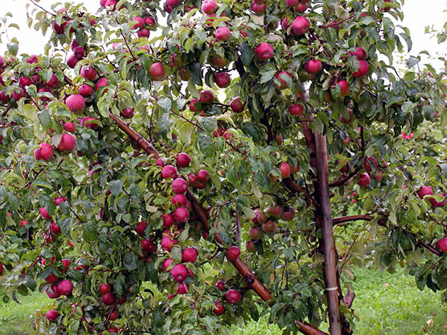 Дерево яблуня в саду – як доглядати