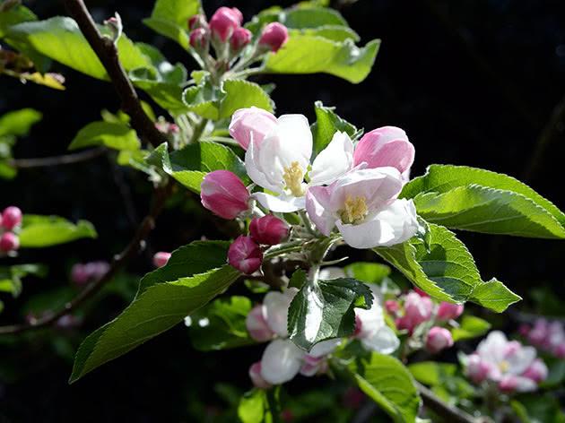 Квітуча яблуня