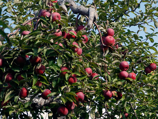 Хорошее плодоношение яблони