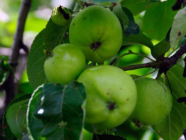 Яблука на яблуні