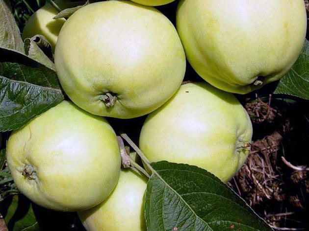 Сорт яблуні Папіровка