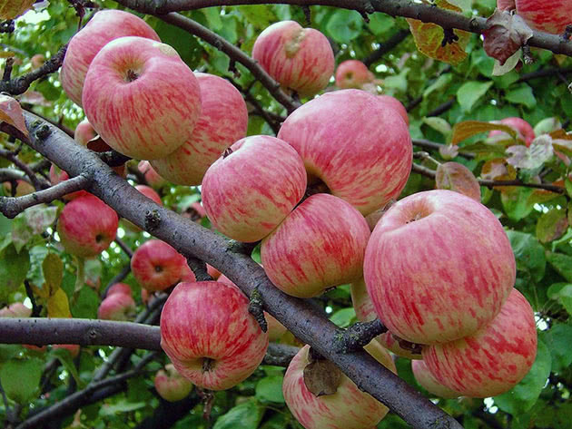 Сорт яблуні Мельба