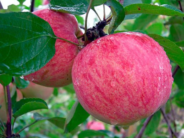 Сорт яблуні Коричне нове