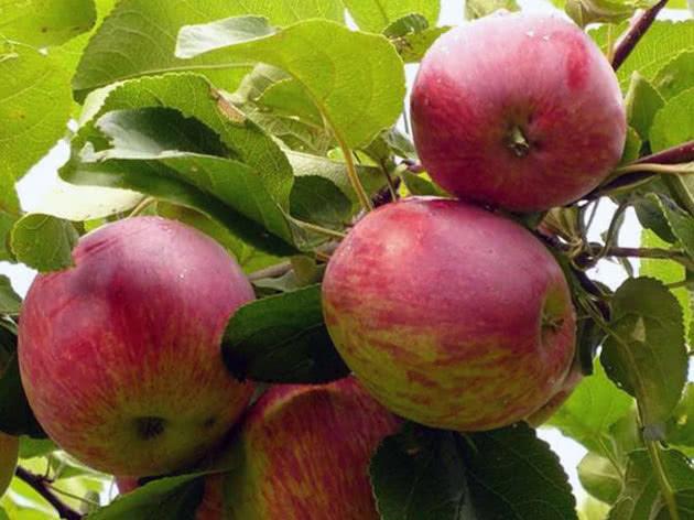 Сорт яблуні Орловське смугасте