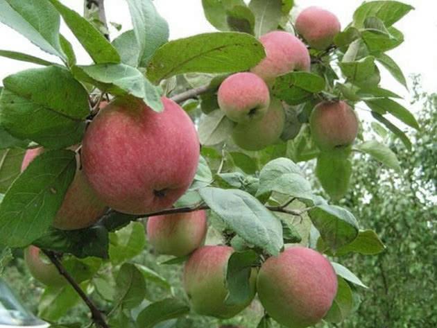 Сорт яблуні Бельфлер-китайка