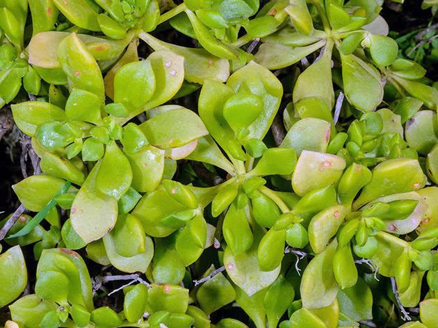 Еоніум Ліндлея (Aeonium lindleyi)