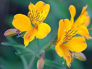 Рослина альстремерія – вирощування в саду