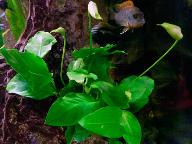 Анубиас разнолистный (Anubias heterophylla)