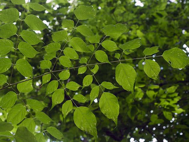 Аралия колючая (Aralia spinosa)
