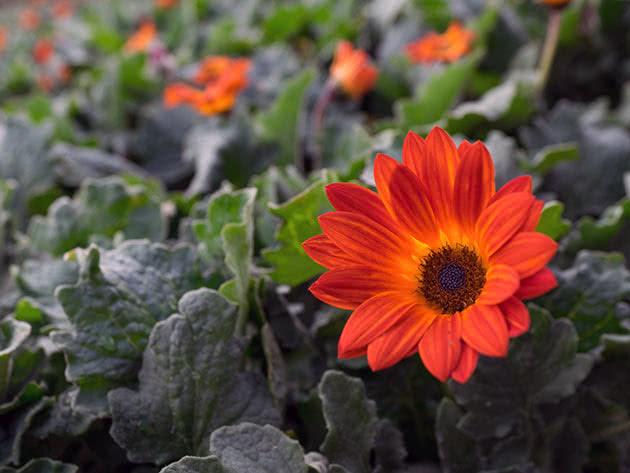 Посадка і догляд за арктотісом у саду