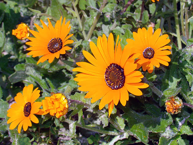 Умови вирощування арктотіса в саду