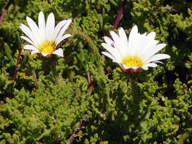 Арктотіс короткостебловий (Arctotis breviscapa)