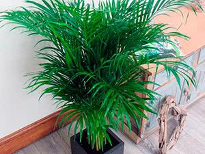 Пальма арека: уход в домашних условиях
