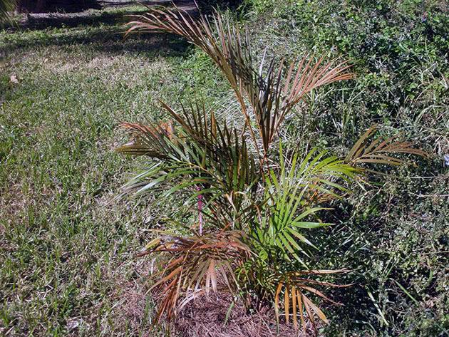 Умови вирощування пальми ареки вдома