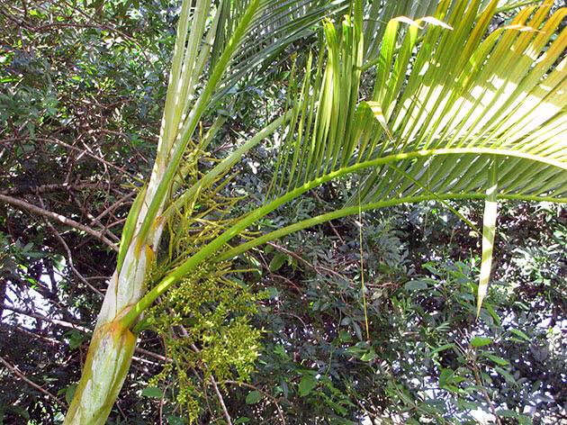 Арека жовтувата (Areca lutescens)