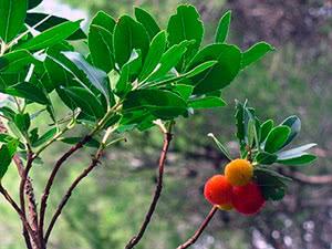 Дерево арбутус