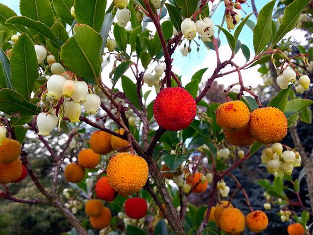 Плоди суничного дерева
