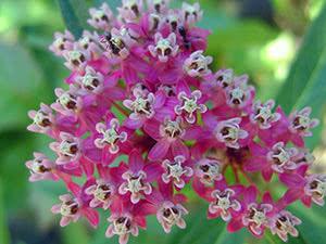 Цветок ваточник: посадка и уход в открытом грунте