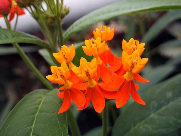 Ваточник кюрасавський (Asclepias curassavica)