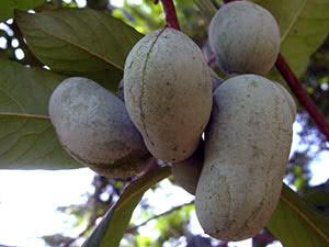 Азимина: выращивание в открытом грунте