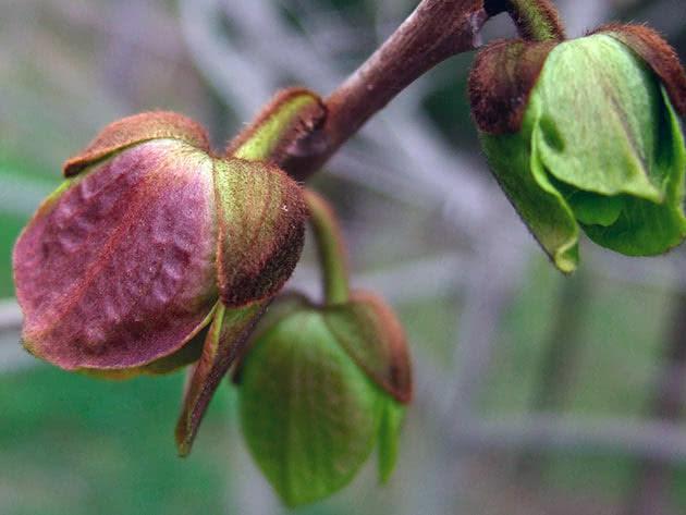 Выращивание азимины в открытом грунте