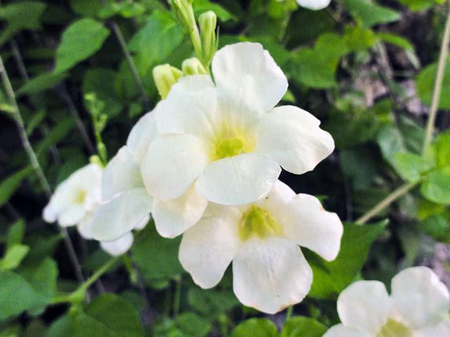 Выращивание азистазии в домашних условиях