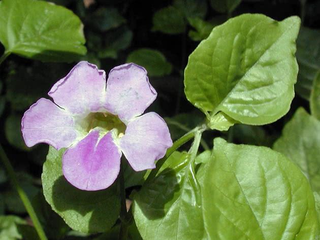 Азистазия гангская (Asystasia gangetica)