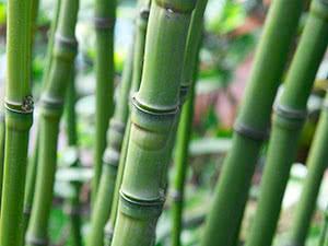 Вирощування бамбука в відкритому ґрунті