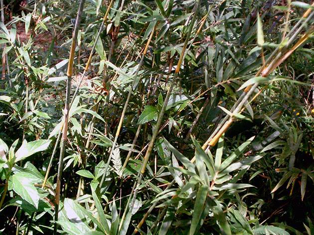Вирощування бамбука: посадка і догляд