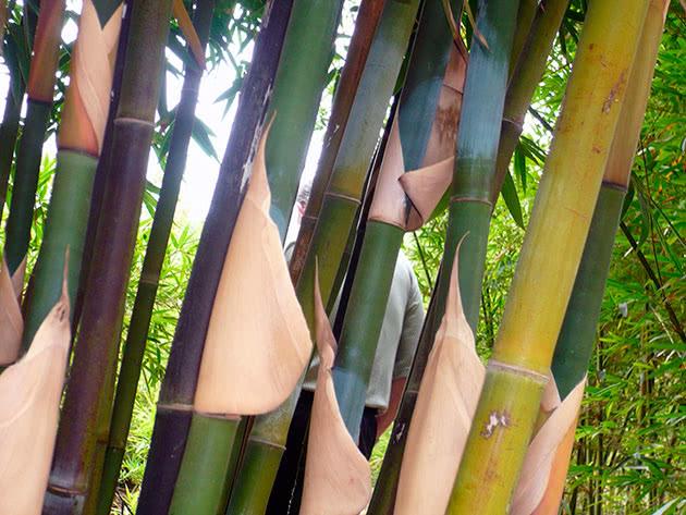 Пересадка і розмноження бамбука
