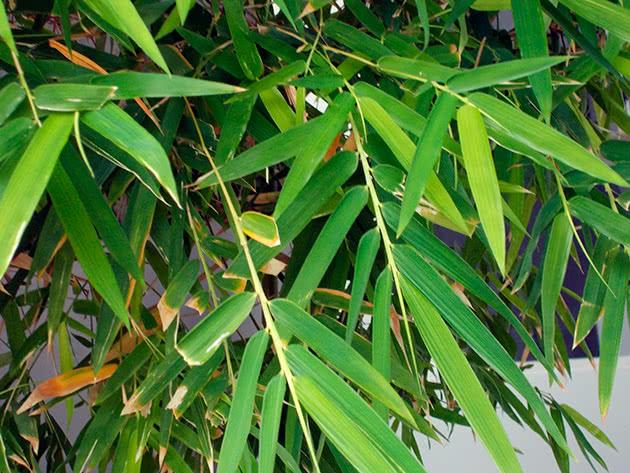 Умови вирощування бамбука в середній смузі