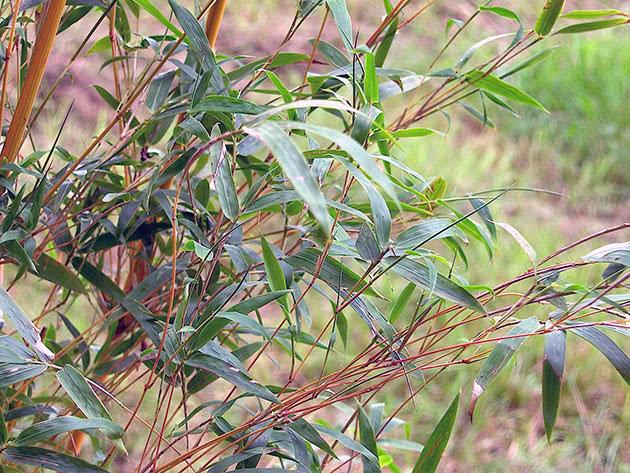 Види і сорти бамбука