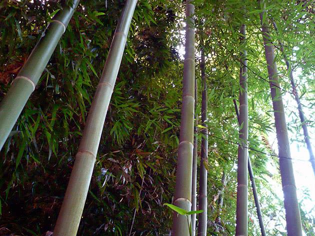 Вирощування бамбука з насіння