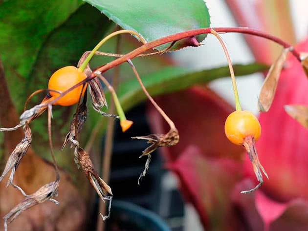 Більбергія зеленоколірна (Billbergia viridiflora)