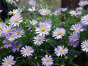 Квітка брахікома: посадка і догляд