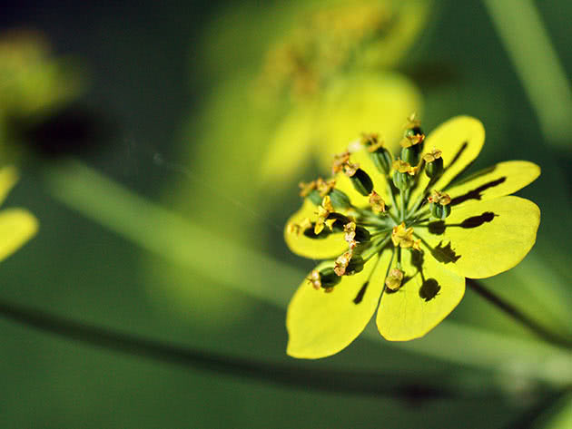 Володушка золотистая (Bupleurum aureum)