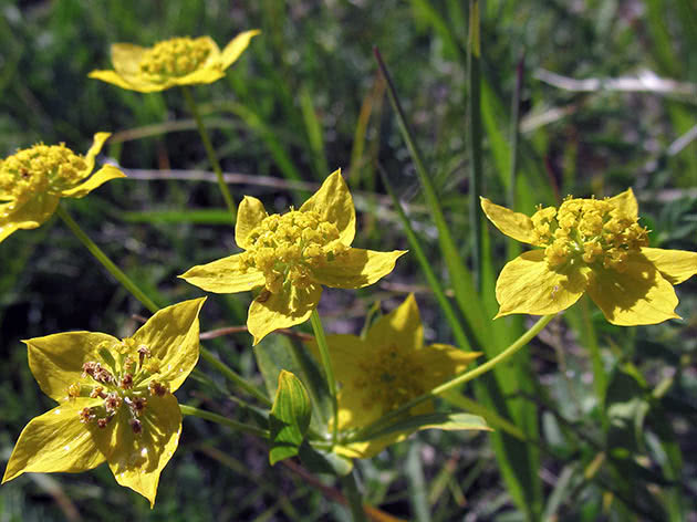 Володушка многожильчатая (Bupleurum multinerve)