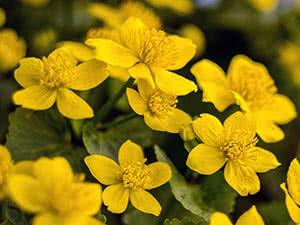 Цветок калужница – выращивание в саду