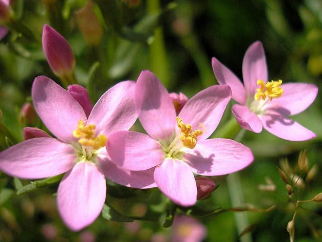 Золототисячник звичайний (Centaurium erythraea)