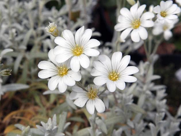 Роговик повстяний (Cerastium tomentosum)