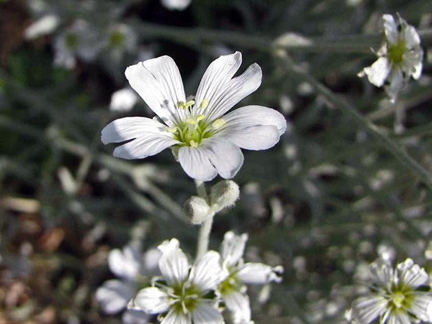 Роговик білий (Cerastium candidissimum)