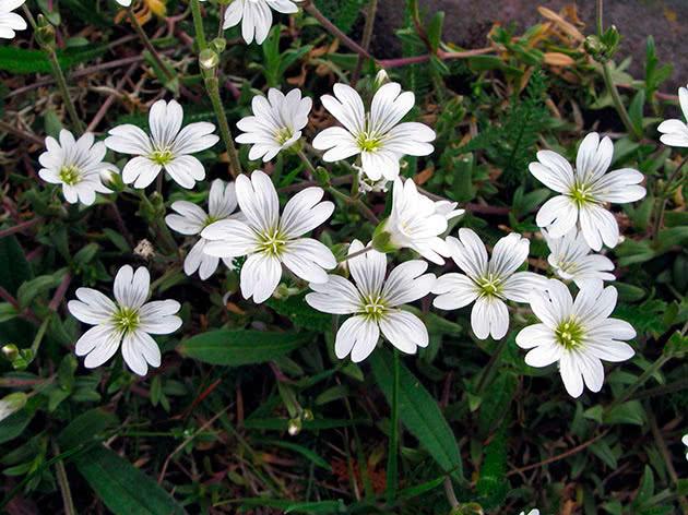 Роговик уральський (Cerastium uralense)