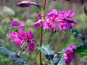 Трава иван-чай (кипрей) – применение и выращивание