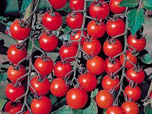 Вирощування помідорів чері